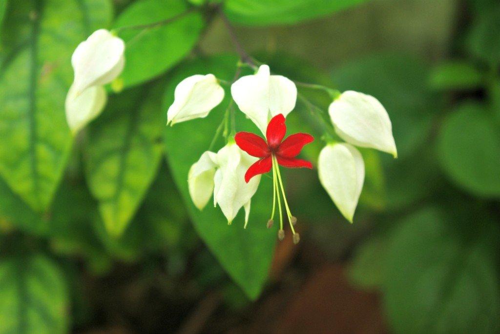 Bleeding Heart Vine Flower