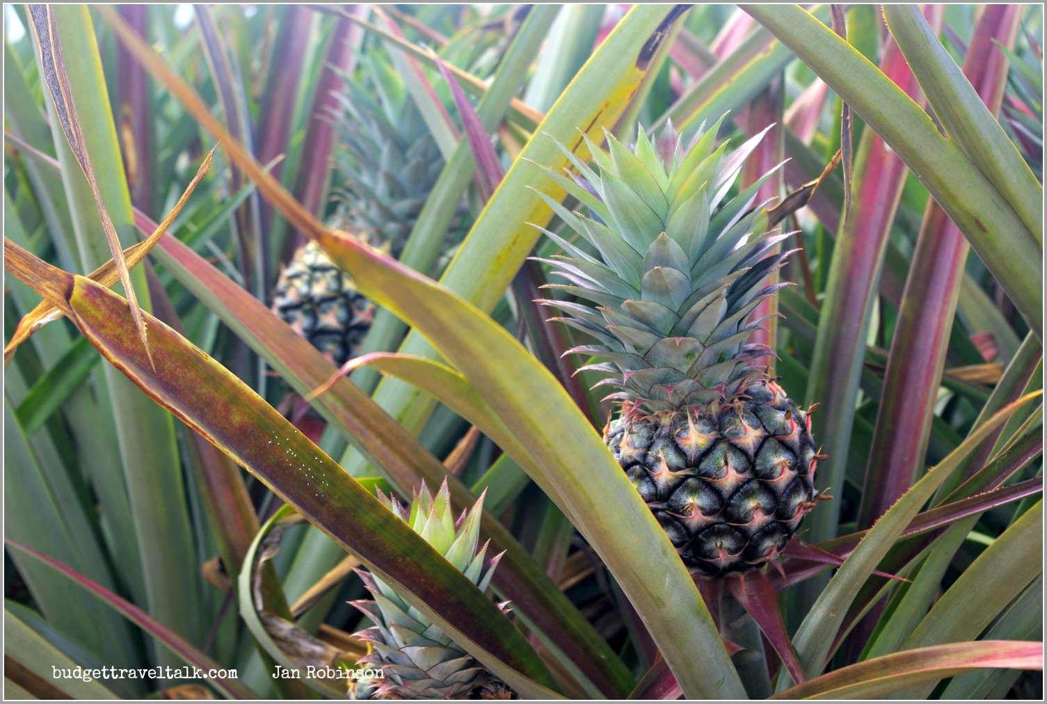 Pineapples growing north of Townsville