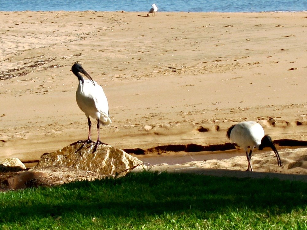 An Ibis or Two
