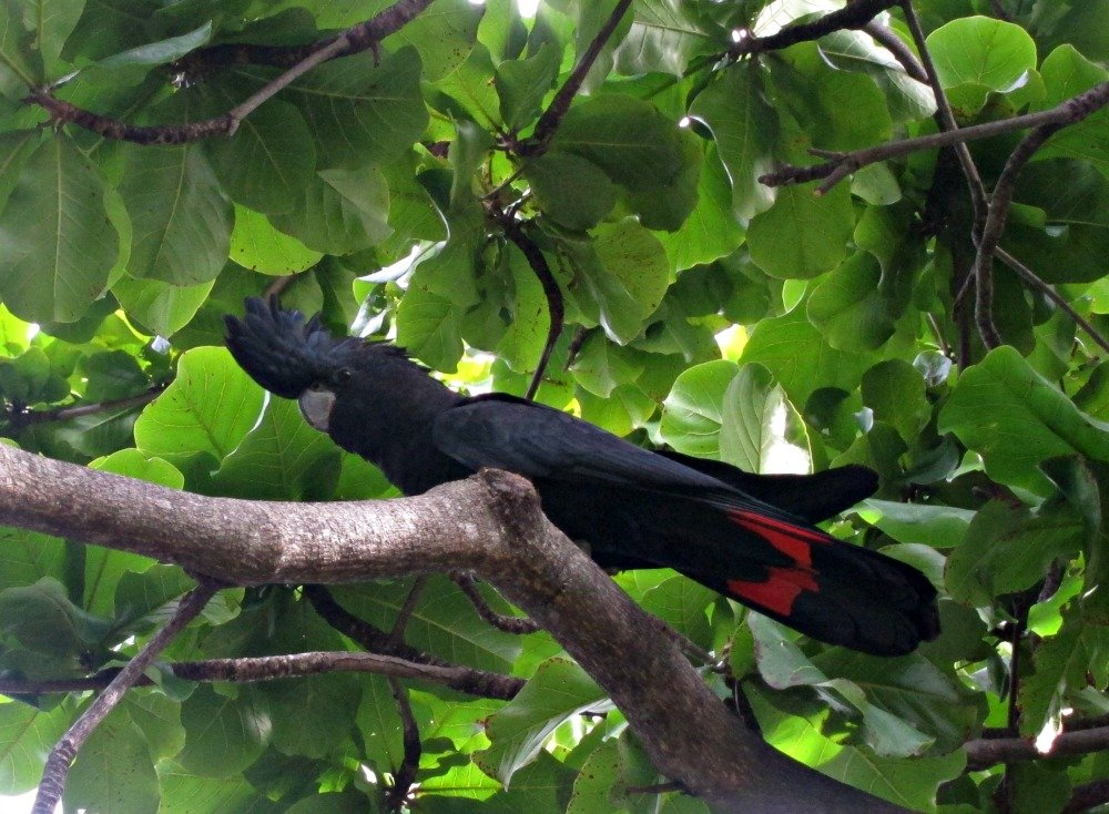 Male Black Cockatoo