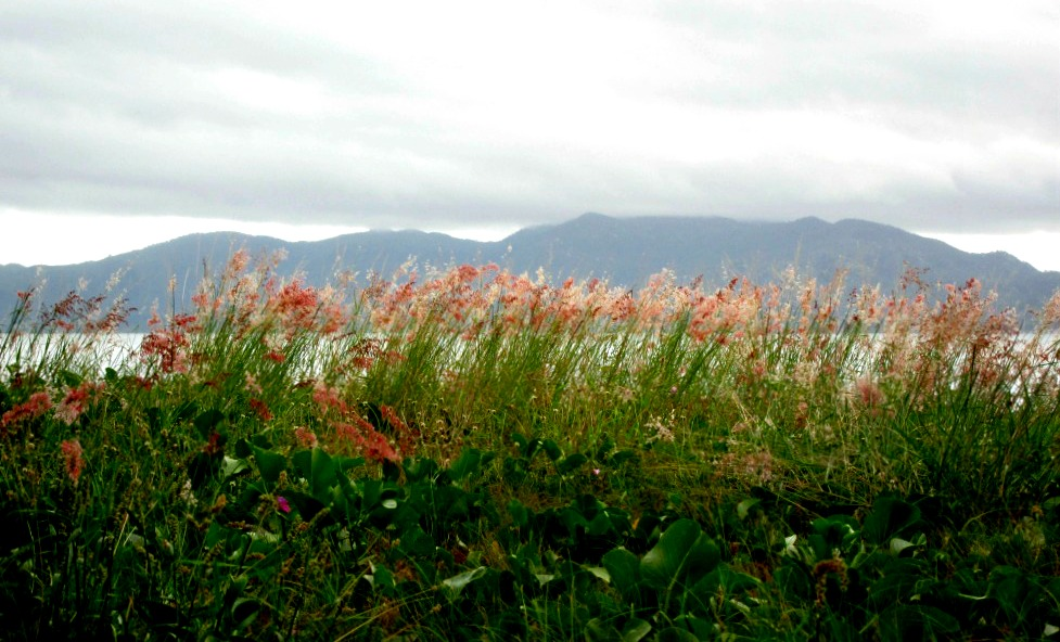 Pink Grasses and Magnetic Island