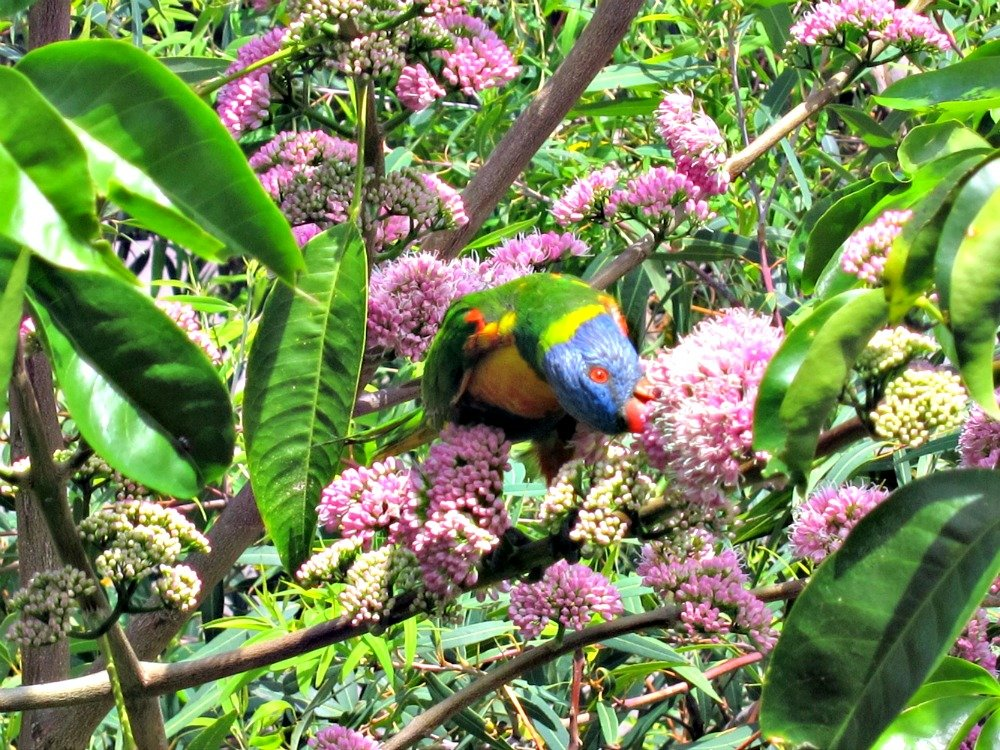 Rosella raiding the Euodia Flowers