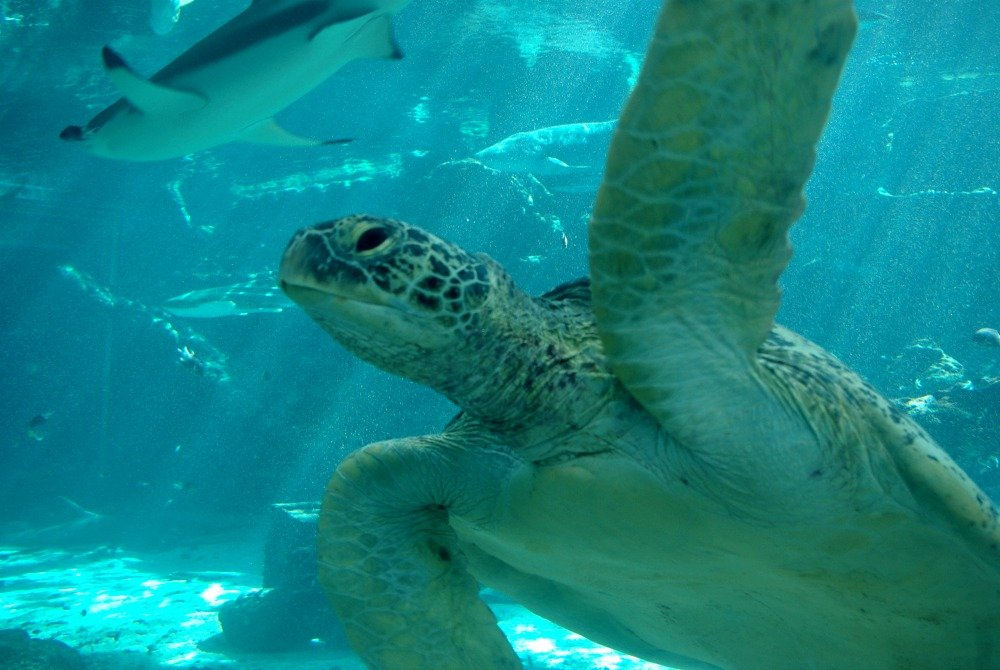 Turtle in the Predator Tank at Reef HQ Townsville