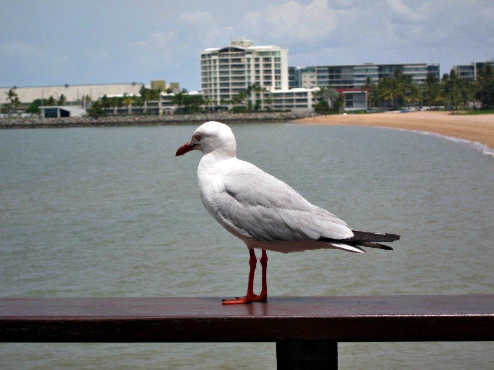 Townsville Seagull