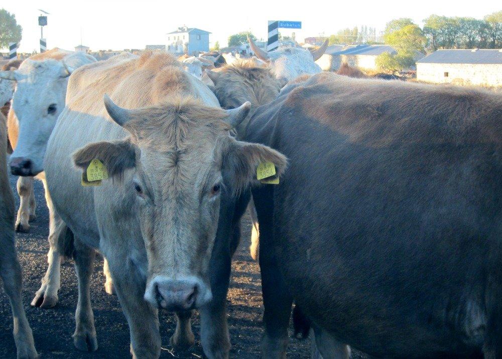 Ani to Kars Cows 2