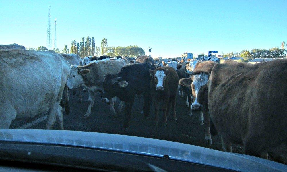 Ani to Kars Cows 3