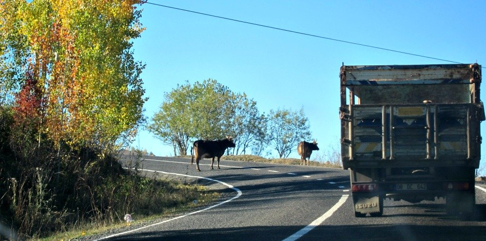 Cows on the Mountain Road near Savsat