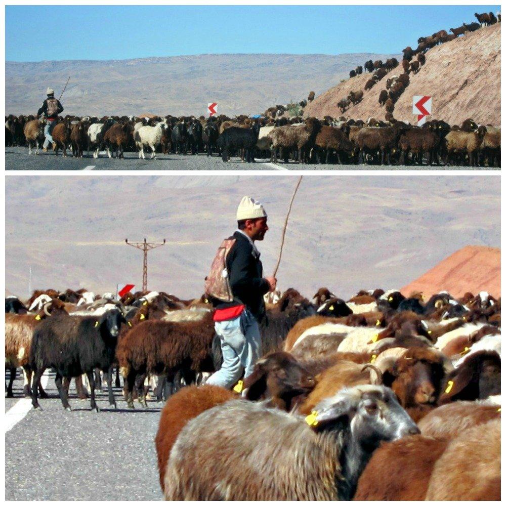 Dogu to Kars Sheep
