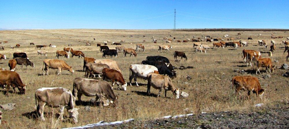 Roadside cattle before Kars