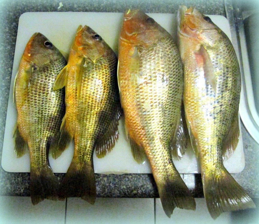 Four Fingermark Fish