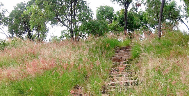 Pink Flowering Grasses beside rough stone stairs on the Castle Hill Goat Track Townsville