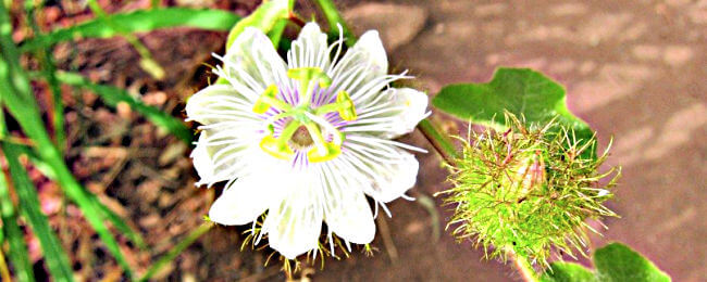 Wild Passionfruit flower and fruit on Castle Hill Townsville
