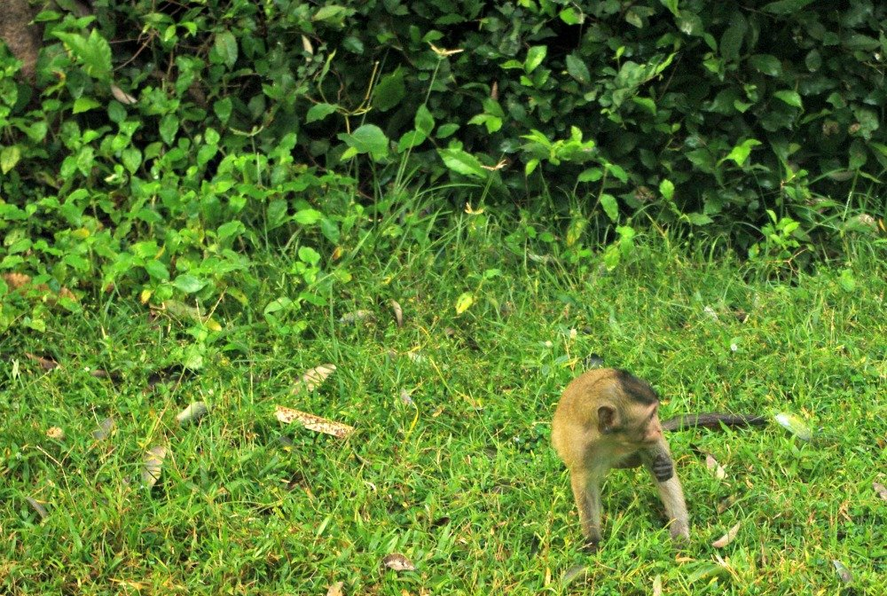Angkor Wat Moat Monkeys 2