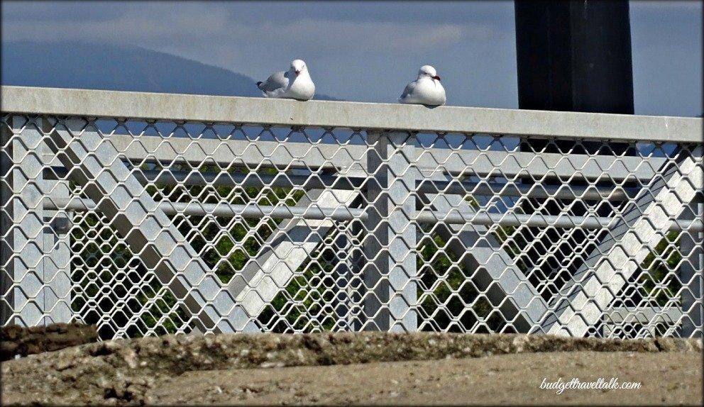 Morris Creek Seagulls