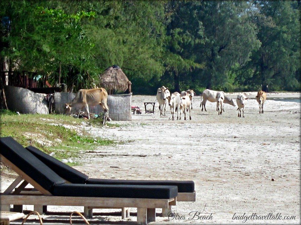 Cows on Otres Beach, Sihanoukville