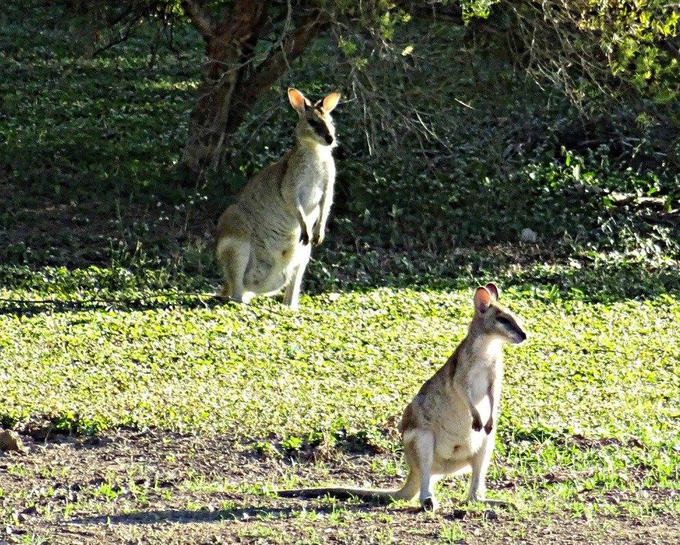 Alert Kangaroos