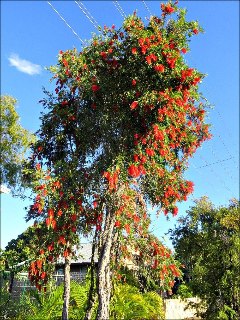 Townsville Bottle Brush Tree