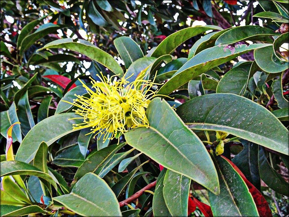 Townsville Golden Penda