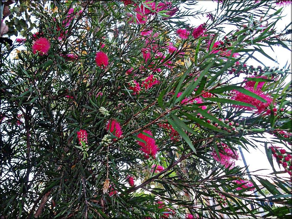 Townsville Pink Bottle Brush