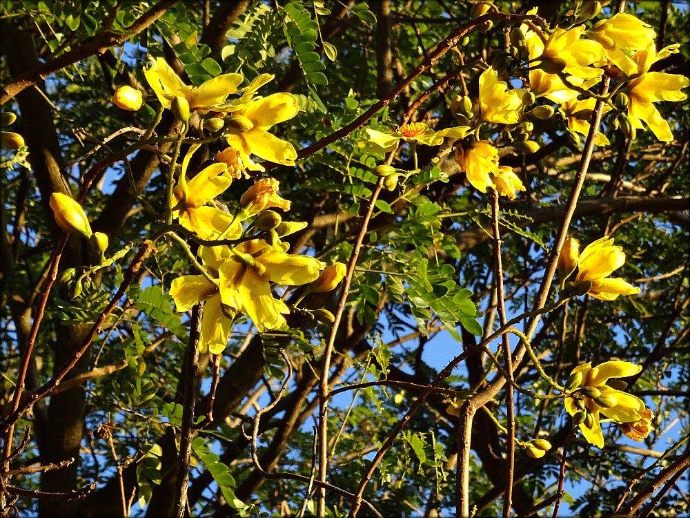 Townsville Yellow Flowers