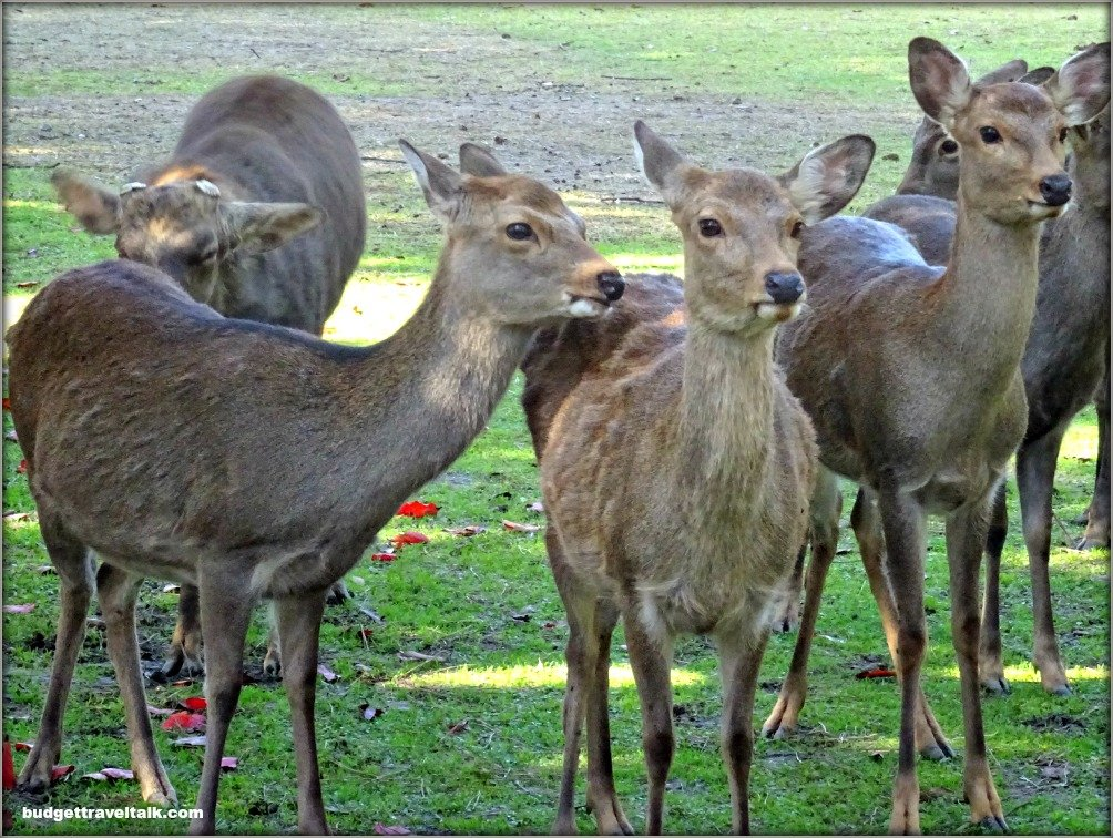 Nara Deer Herd