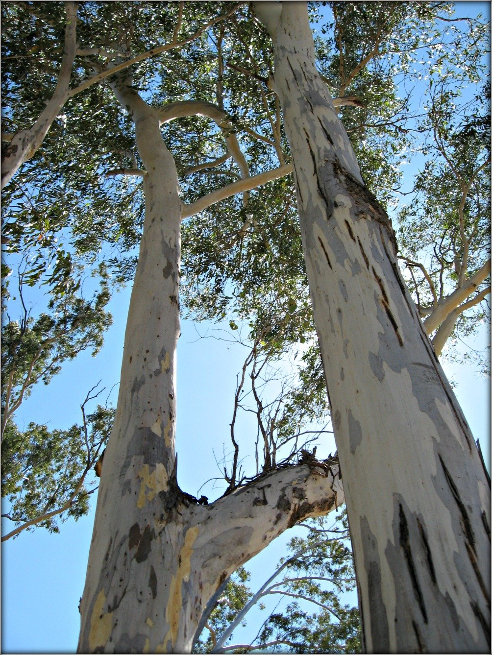 Air filled with the sent of Eucalypt Trees
