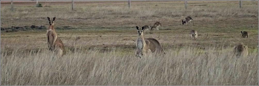 Kangaroos St. Lawrence