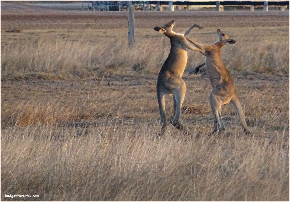 St. Lawrence Wetlands Kangaroos Fighting