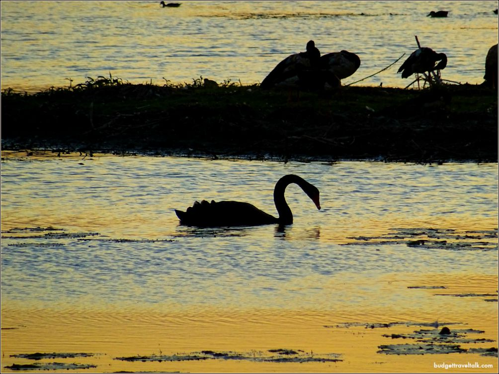 St. Lawrence Swan Sunset