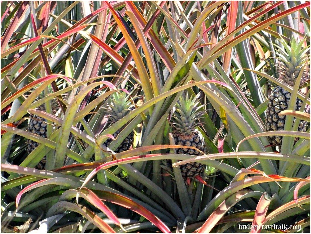 Lucinda Trip Rollingstone Pineapples