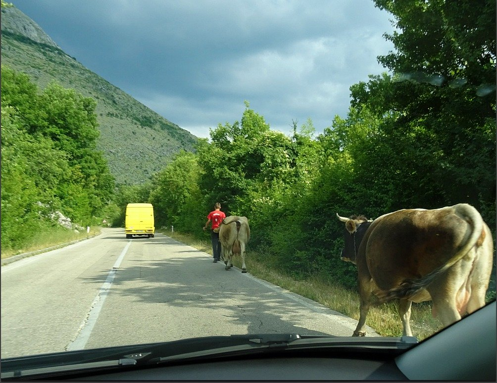 Yellow Bus and Cows in BiH