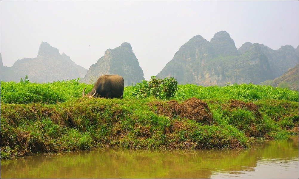 Water Buffalo Vietnam