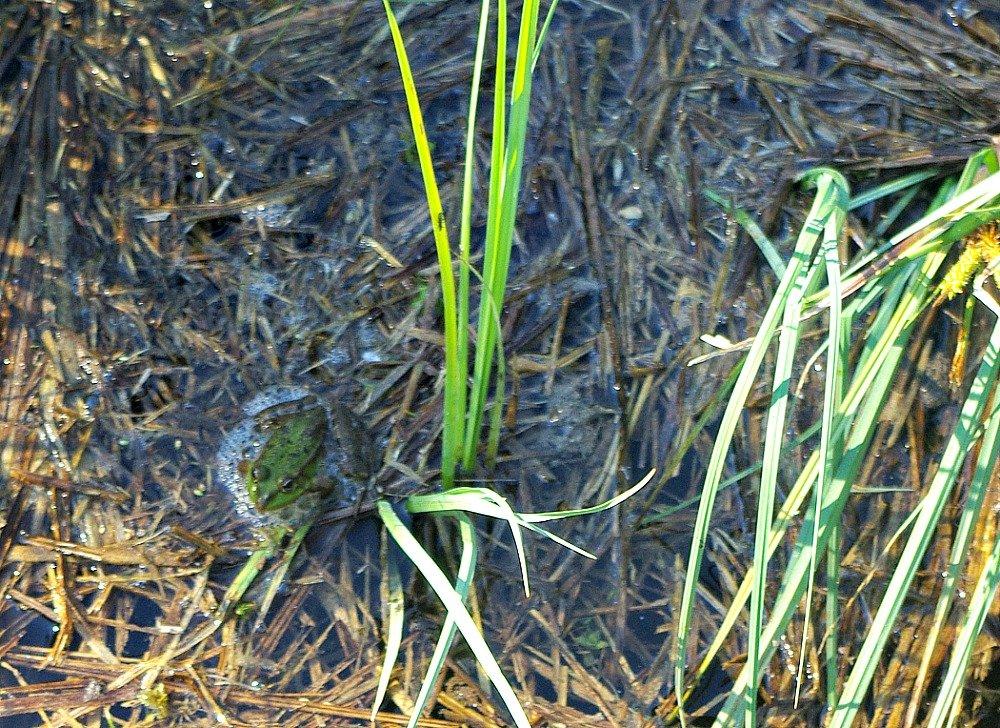 Plitvice Lakes Frog