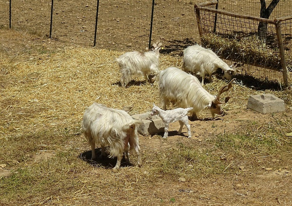 Valley of the Temples Agrigento Sicily Girgentana goats