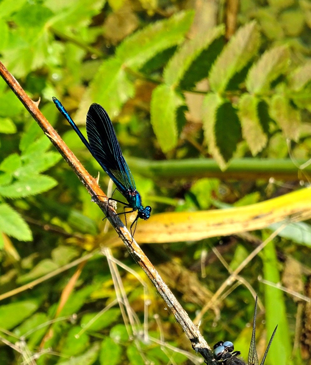 Krka National Park Croatia Blue (Male) demoiselle dragon fly