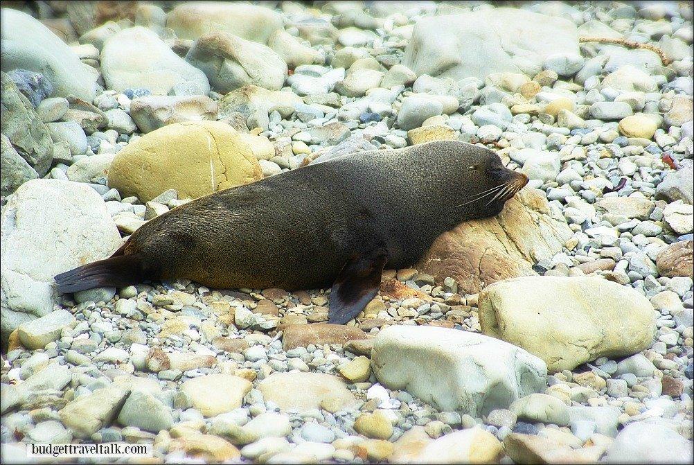 Seal sun-baking north of Kaikoura New Zealand