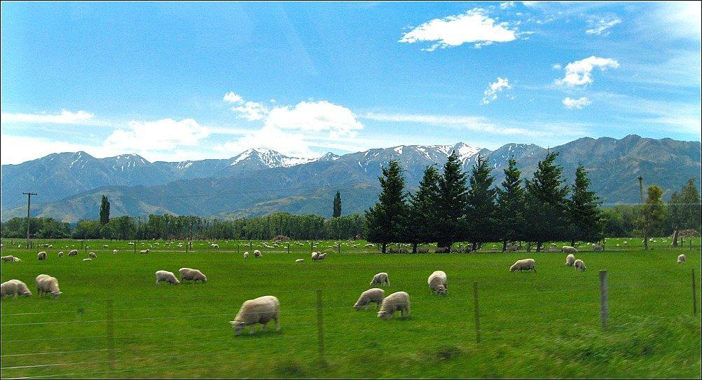 Sheep near Ashley Gorge, Canterbury, New Zealand