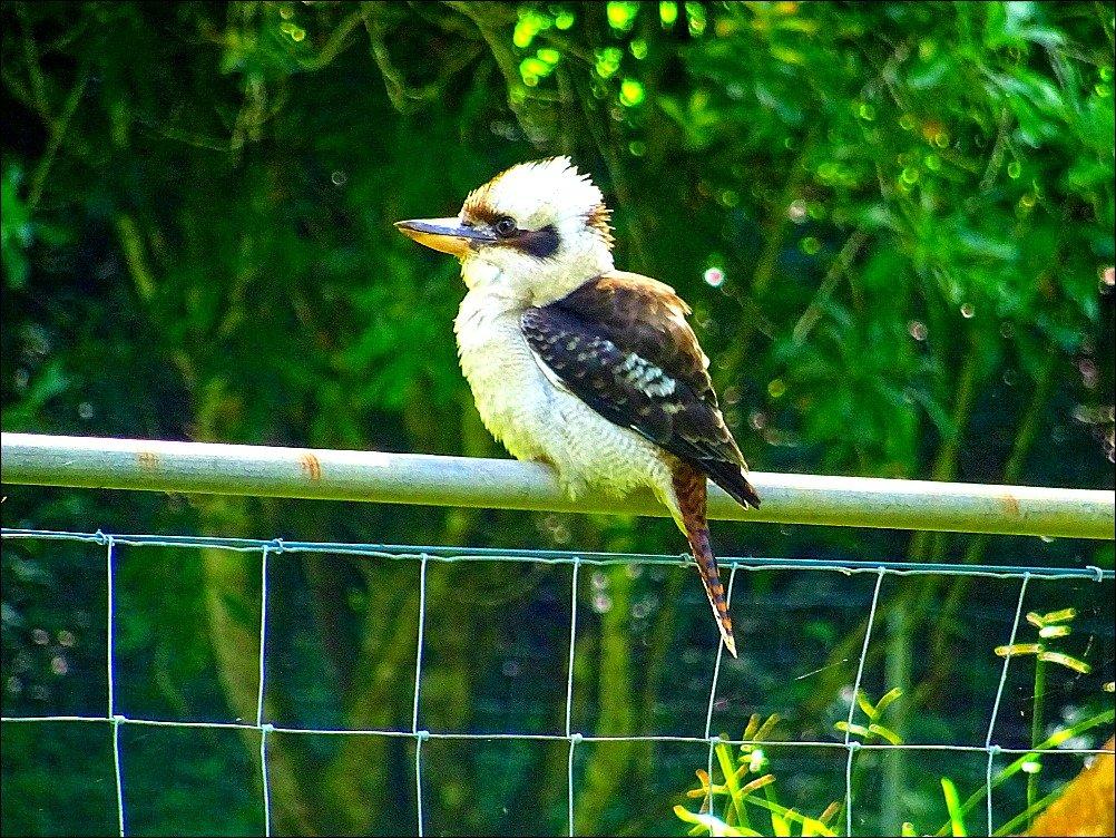 Kookaburra Mullum to Uki