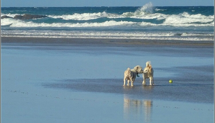 Two white dogs sniffing each other on the wet sand at Stumers Creek Coolum Beach