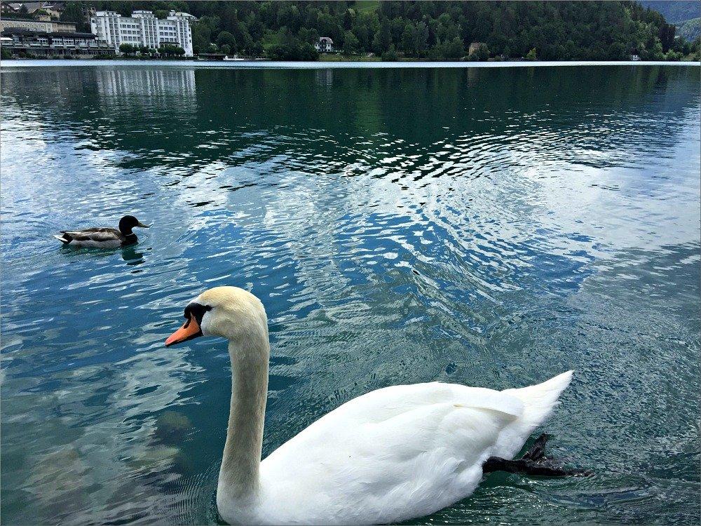 Bled Mute Swan
