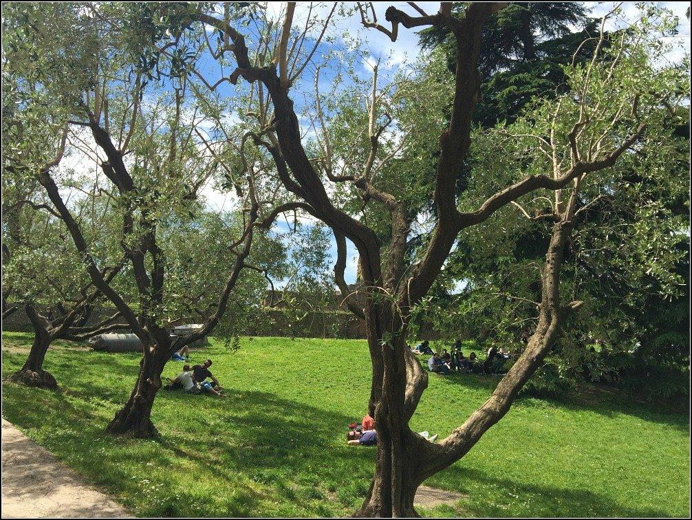 Palatine Olive Trees