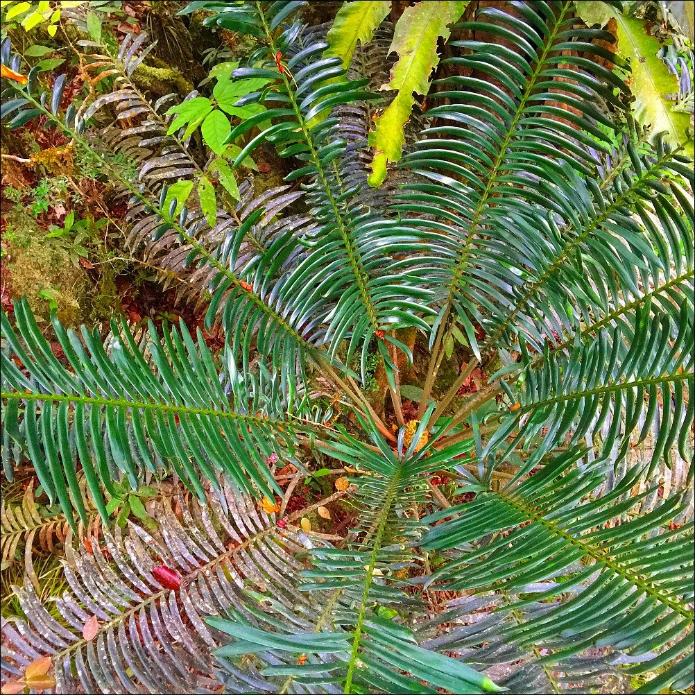Mossman Gorge Fern from above