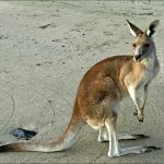 Cape Hillsborough Kangaroos and Adventure at Cape Hillsborough Tourist Park
