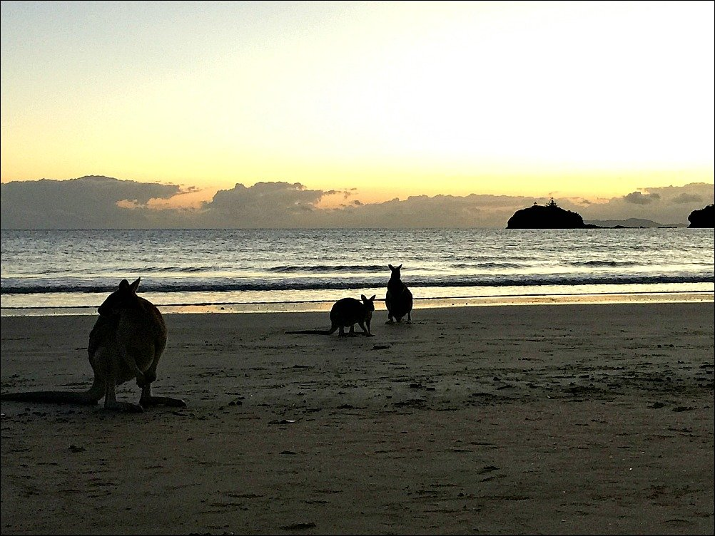 Cape Hillsborough Kangaroos at Sunrise