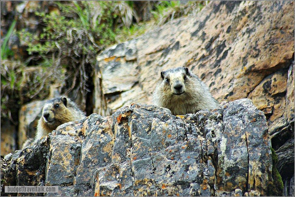 Hoary Marmots Lake Louise Lakeshore trail
