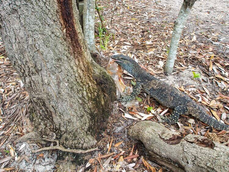 A goanna or monitor lizard is holding a plastic bag in it's mouth in the Australian Bush. A reminder not to litter when camping in Australia.