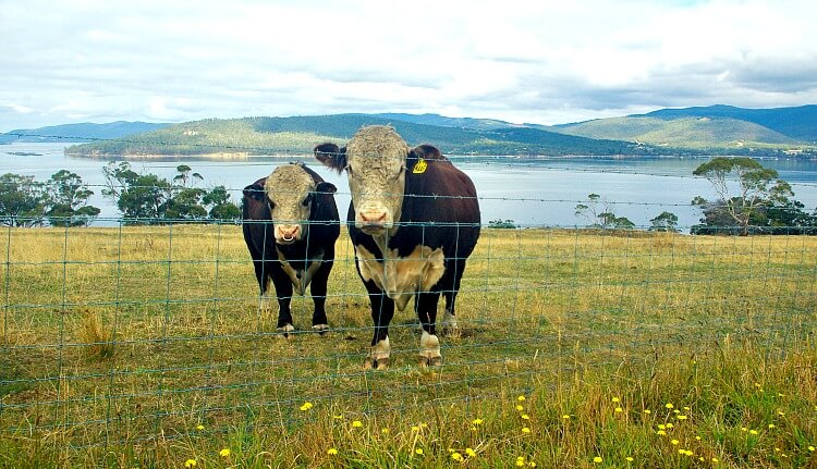 two brown and white cattle in a field of grass and yellow flowers with blue water and hills Tinderbox
