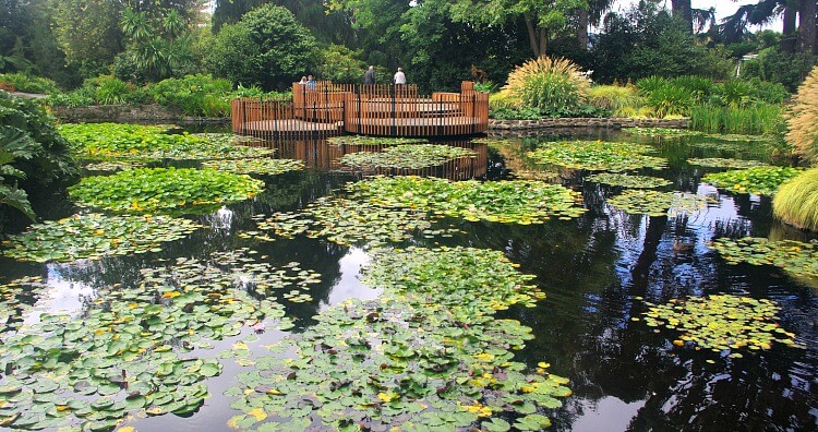View across the lily pads of the lily pond