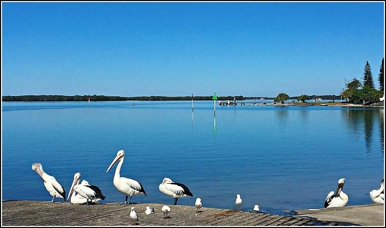 Pelicans in Pumicestone Passage