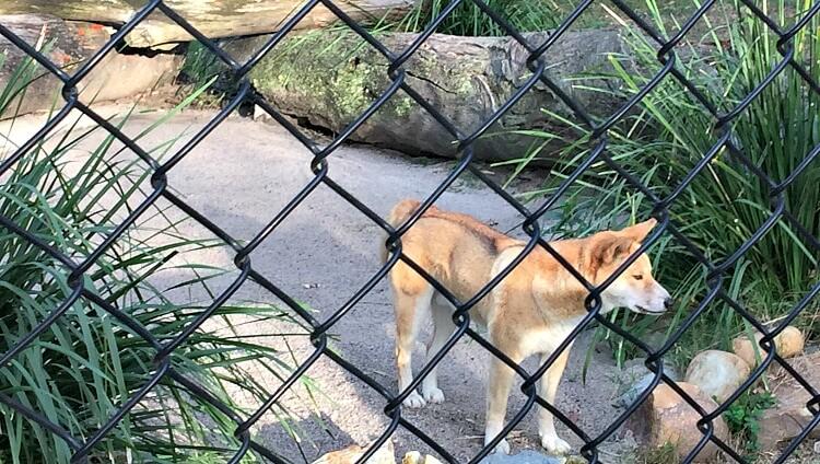Dingo behind wire fence